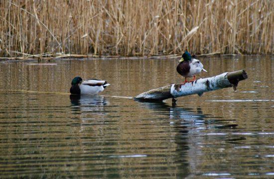 kaczki nad Narwią kaczki nad Narwią - foto www.pultusk.news